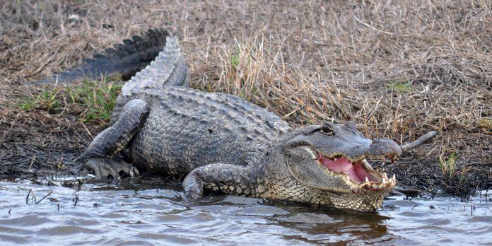 American_Alligator_Alligator_mississippiensis_Chambers_Co._Texas._photo_W._L._Farr-696x348.jpg
